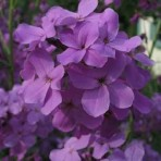 Hesperis Purpurea. (Purple, Sweet Rocket)
