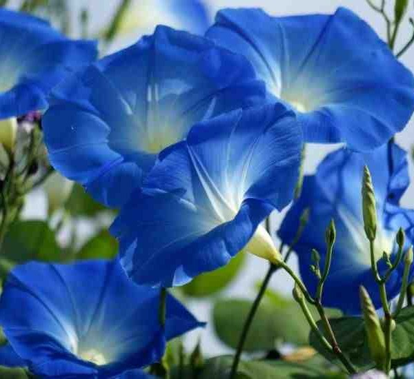 Ipomoea Heavenly Blue Flowers.