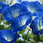 Ipomoea, 'Heavenly Blue'.