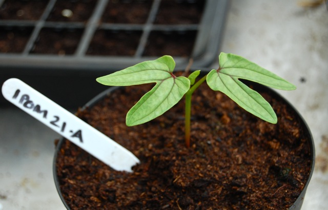 Ipomoea Seedling. 26 days old.