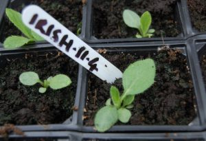 Rudbeckia Irish Eyes Seedling...just over a month old.