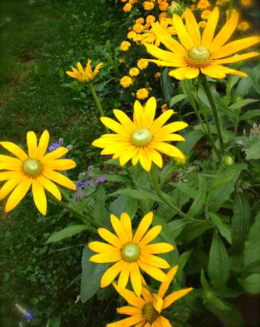 Rudbeckia 'Irish Eyes'...this is the 'sister' rudbeckia I grow at Higgledy.