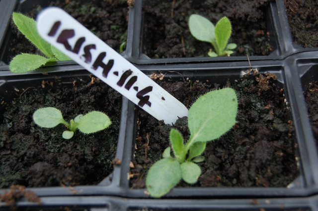 Rudbeckia 'Irish Eyes' Seedling...just over a month old.