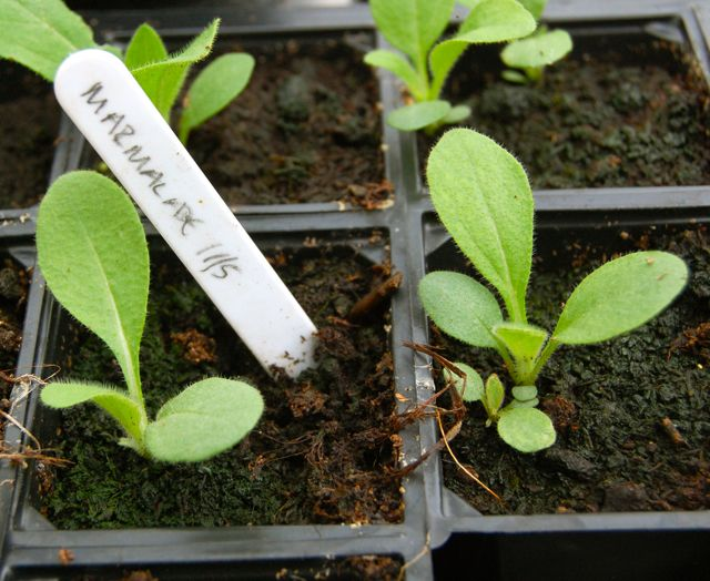 Rudbeckia 'Marmalade' Seedlings.