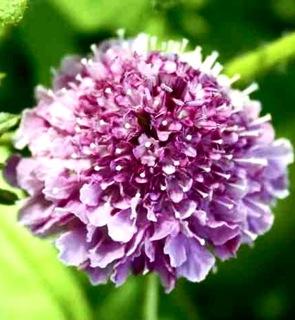 Scabiosa Flower