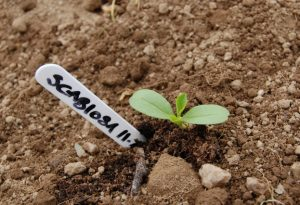 Scabiosa Seedling. One month old.