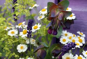 Cerinthe major and feverfew