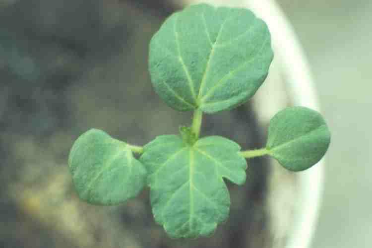 Hesperis seedling