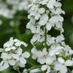 Hesperis Alba (White, Sweet Rocket)