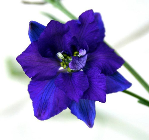 Larkspur blue