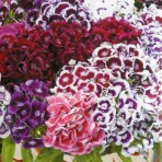 Sweet William, 'Auricula-Eyed'.