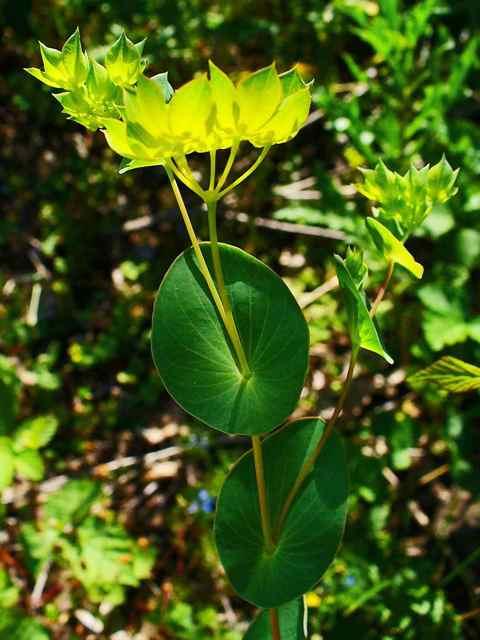Perfoliate leaves
