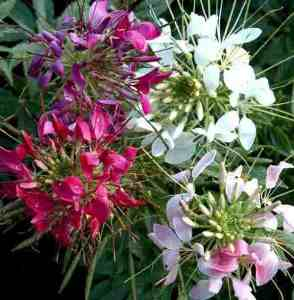 Cleome in flower.