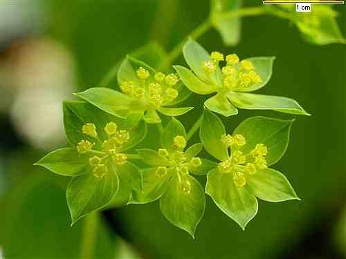 Bupleurum Flower