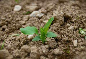 bupleurum seedling