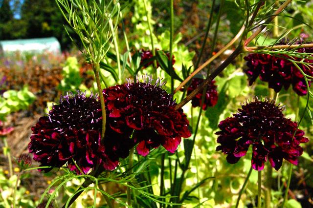 scabiosa atropurpurea plants