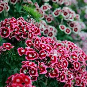 sweet william auricula-eyed