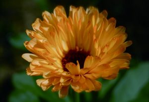Spring Sown Calendula Art Shades (Sown mid April)
