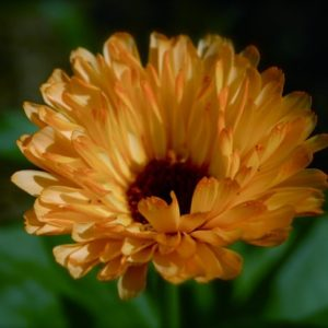 Spring Sown Calendula 'Art Shades' (Sown mid April)