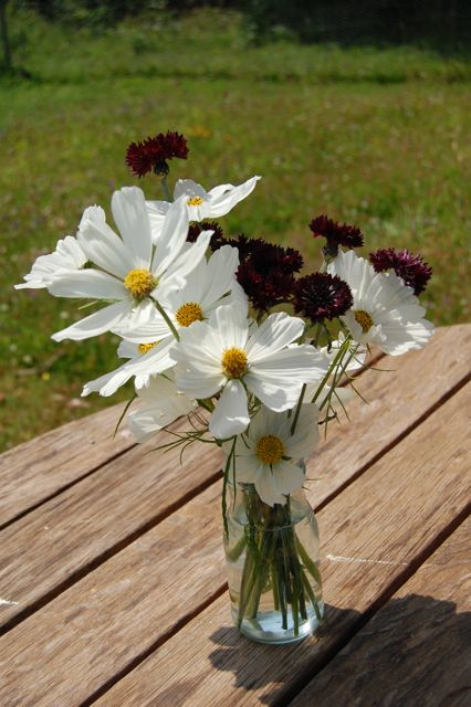 Cornflower 'Black Ball' & Cosmos 'Purity'