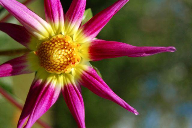 Dahlia 'Cactus'