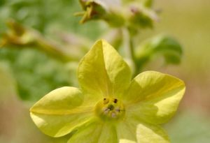 Nicotiana Lime Green Seed