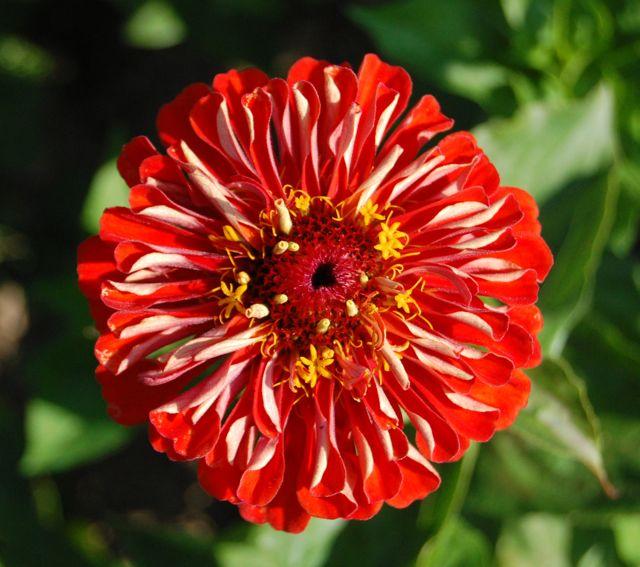 Zinnia 'Dahlia Flower'