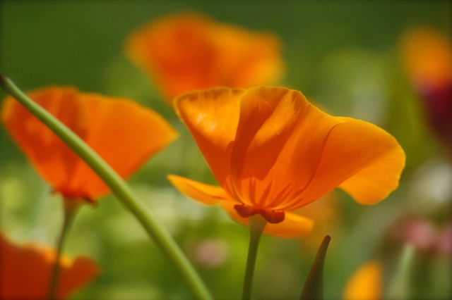 How to grow california poppy from seed eschscholzia for Best flowers to grow in california