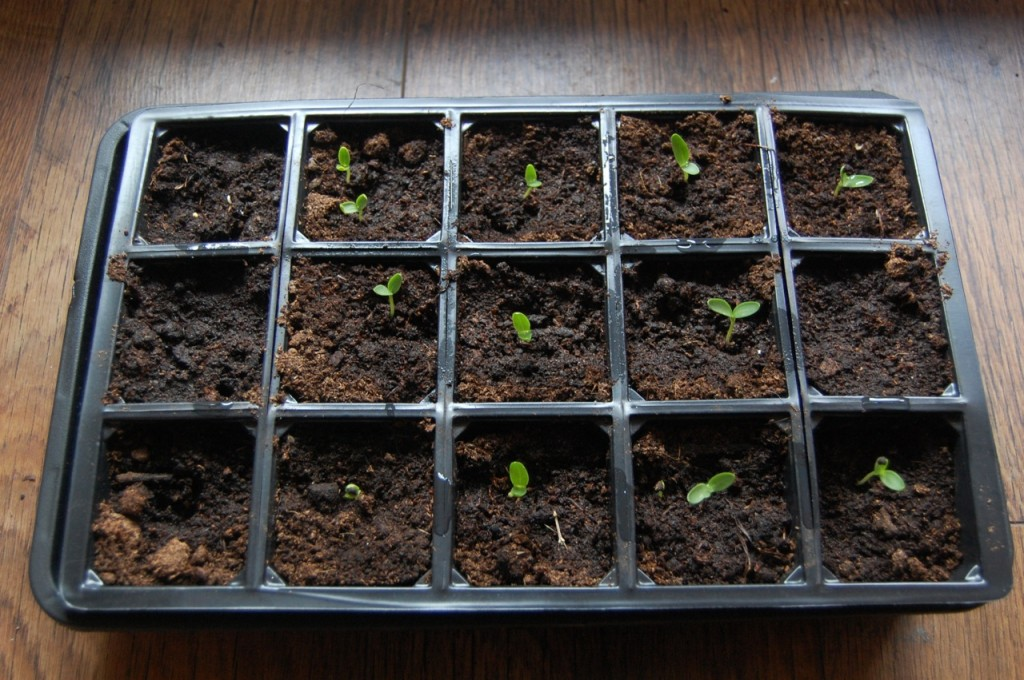 Corncockle Seedlings