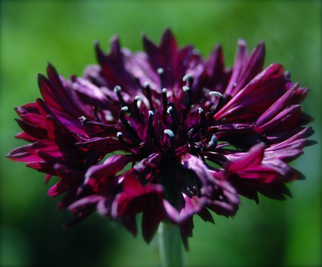 'Black Ball' Cornflower.