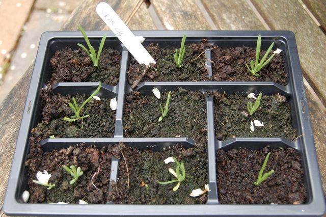 Craspedia Seedlings