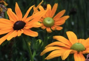 Rudbeckia Irish Eyes