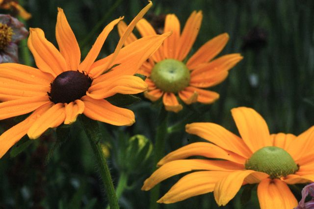 Rudbeckia 'Irish Eyes' & 'Marmalade'