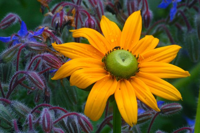 Rudbeckia 'Irish Eyes' with Borage