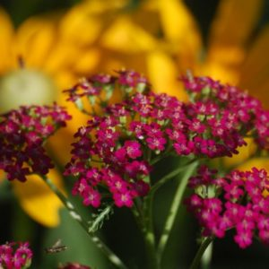 achillea cerise queen seeds