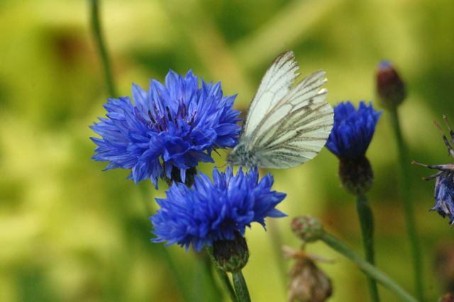 'Blue Ball' Cornflower