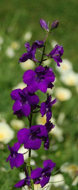 Larkspur 'Giant Imperial'