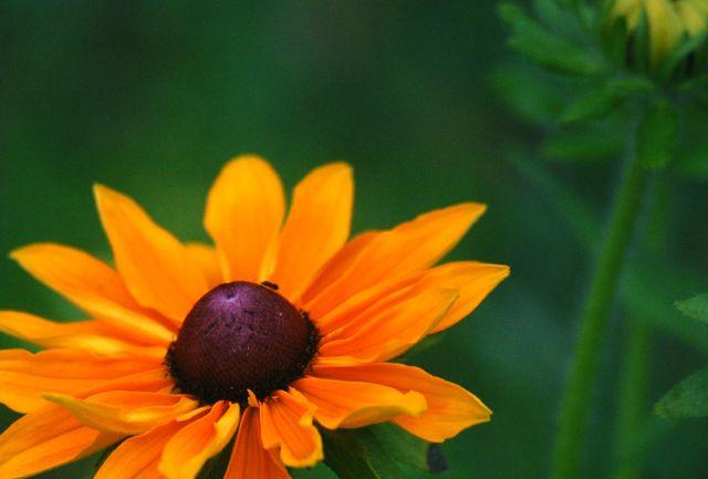 Rudbeckia 'Marmalade'