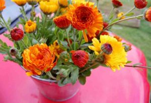 Big Fat Juicy Bucket Of Calendula Indian Prince.