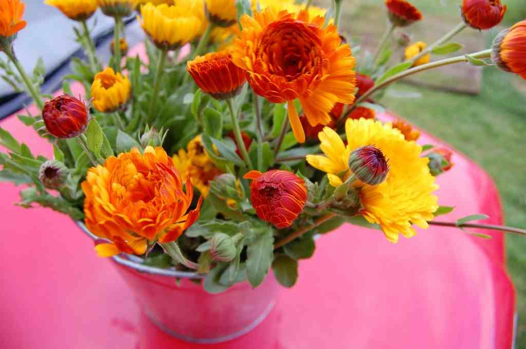 Big Fat Juicy Bucket Of Calendula 'Indian Prince'.