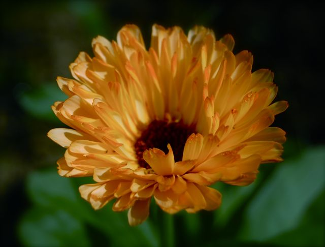 Calendula 'Art Shades'