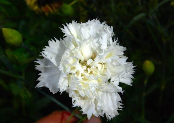 Carnation 'Superb'