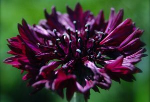 Cornflower Black Ball