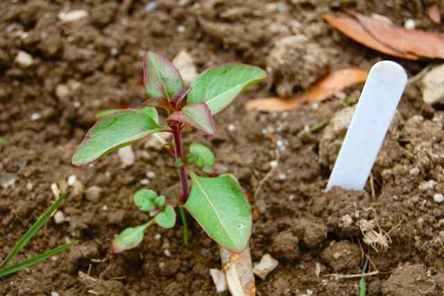 Godetia Seedling
