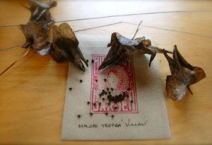 Malope Triffida Vulcan Seed Harvesting.