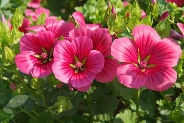 Malope 'Vulcan' In Full Swing.