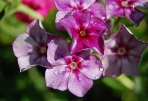 Phlox Grandiflora Tall Mix...yes...what a cracker...ding dong!