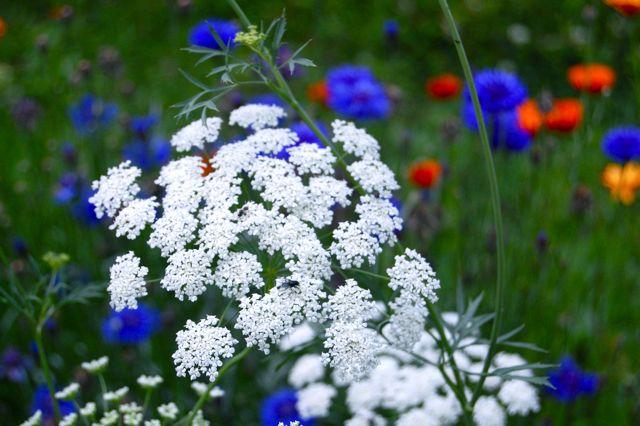 Ammi & Cornflowers