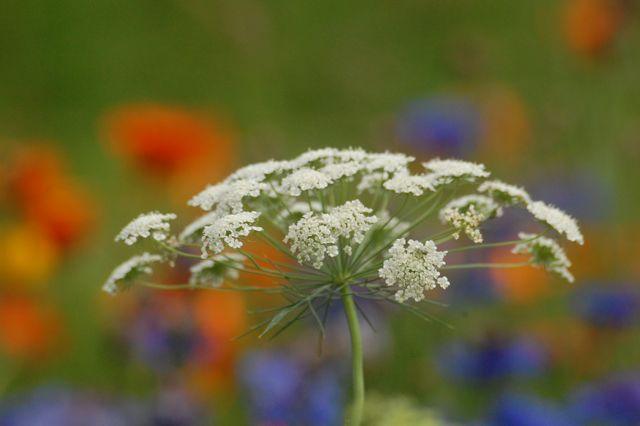 Ammi Majus loitering about at Higgledy.