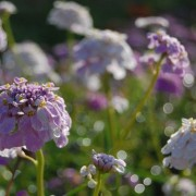 Candytuft 'Crown'